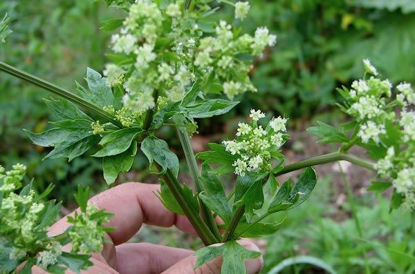 Celery plant in flower, (Apium graveolens var. dulce)
