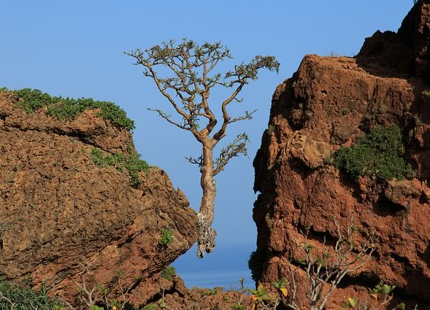 Frankincense tree, above Rosh Socotra, Yemen. Photo by Valerian Guillot, CC license