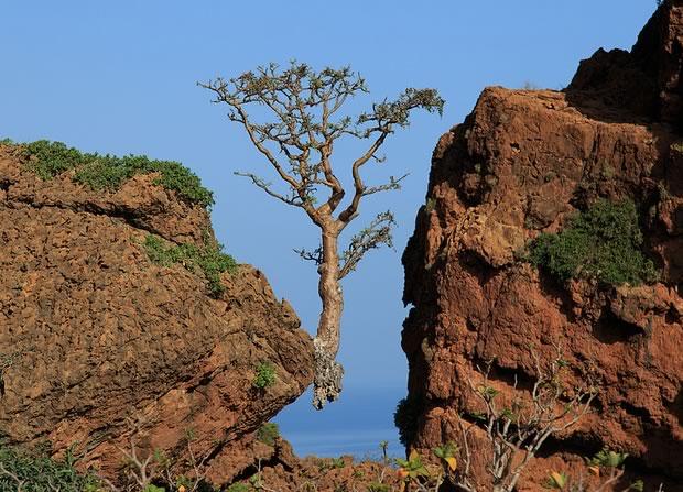 Frankincense tree, above Rosh Socotra, Yemen. Photo by Valerian Guillot, CC license