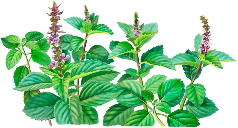 Holy basil plant illustration