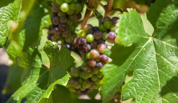 Grape leaves for tea